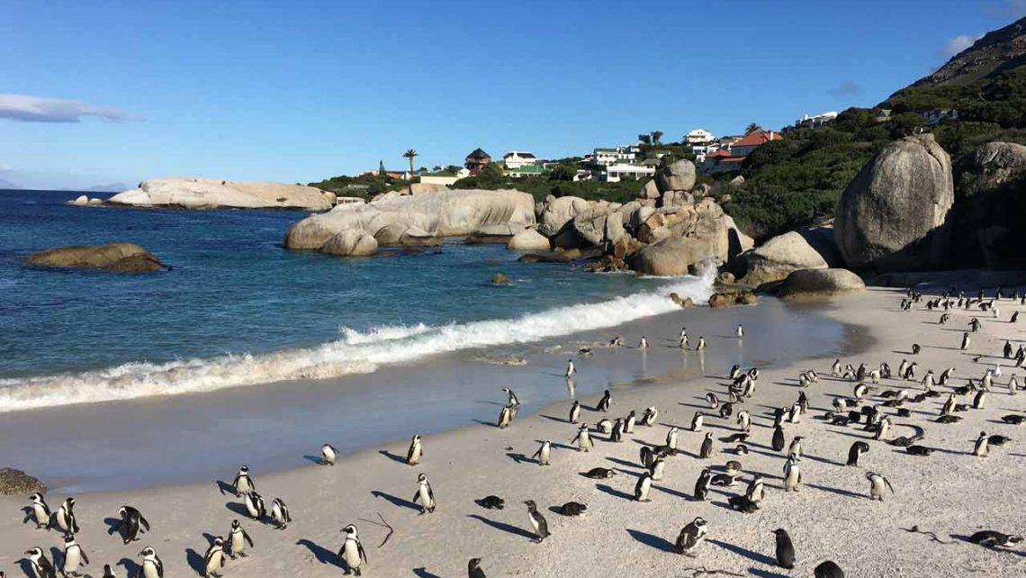 Strandbild mit Pinguinen in Südafrika-Reisebericht Boulders Beach