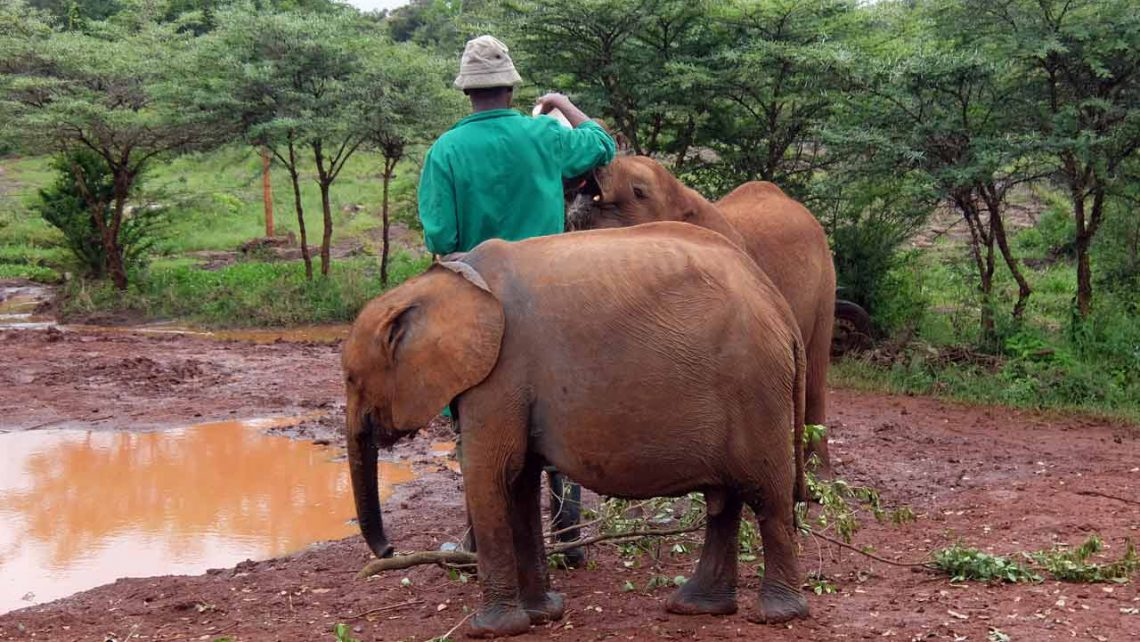 Bericht zur Fütterung Elephantenbabies im Elefantenwaisenhaus David Sheldrick Wildlife trust
