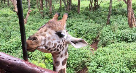giraffe im giraffe center nairobi - giraffencenter